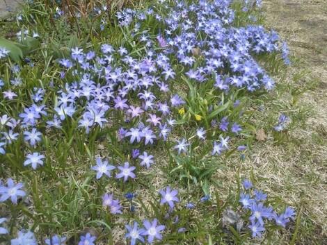 Ölands gräsmattor är mer blå än gröna. Först kommer vårstjärnorna, här tillsammans med den första vårlöken, sedan scilla och sist pärlhyacinter.