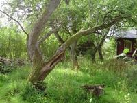 Fruktträd i Smedträdgården planterade omkring 1880.